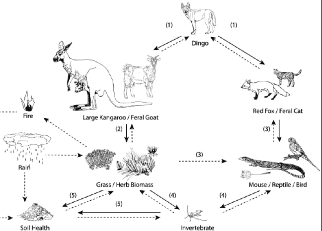 australia_fire_STEM_Education_The food web of the kangaroo