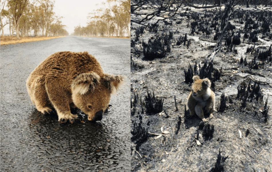 australia_fire_STEM_Education_One koala survivor looks for fresh water to drink while another sits in its scorched habitat