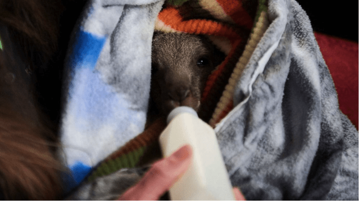 australia_fire_STEM_Education_A rescued baby kangaroo is fed while resting in a human-made pouch