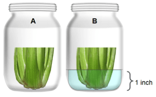 Two jars with celery, one with water and one without