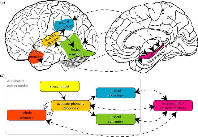 image of two brains and how phonics affects learning regarding reading wars