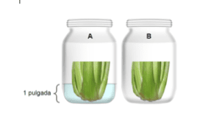 Two jars wih celery, one with water