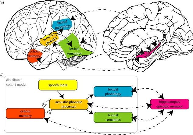 image of two brains and how phonics affects learning
